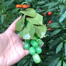 Yeşil yeşim yaprakları ile yeşil florit üzüm